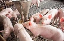 Thủ tướng yêu cầu đẩy mạnh các giải pháp đưa giá lợn hơi về mức bình thường