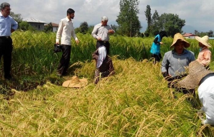 Hải quan Iran thực hiện lệnh cấm nhập khẩu gạo kể từ ngày 22/8/2020